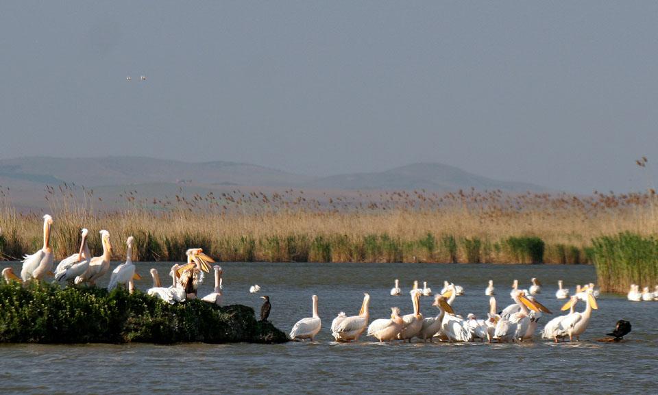 Pelikans & Cormorants